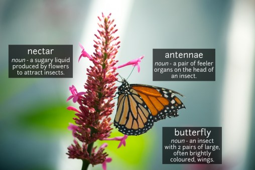 butterfly vocabulary