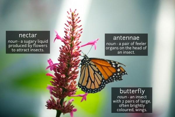 butterfly vocabulary