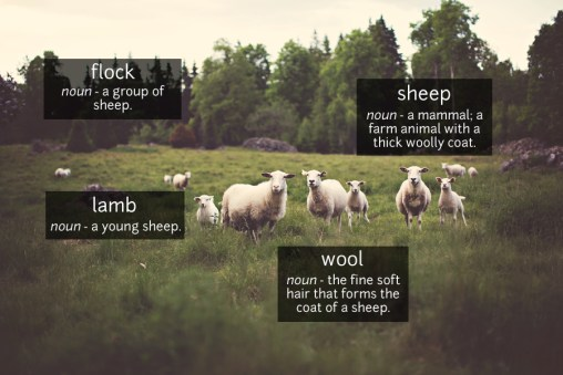 sheep vocabulary