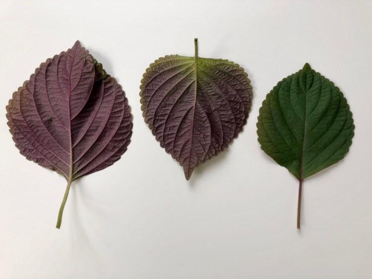Purple Shiso
