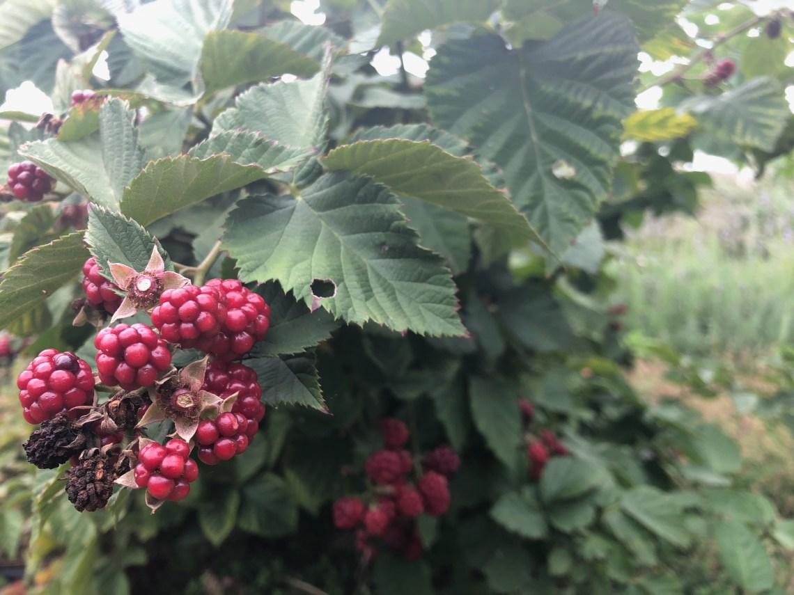 Pickled Blackberries