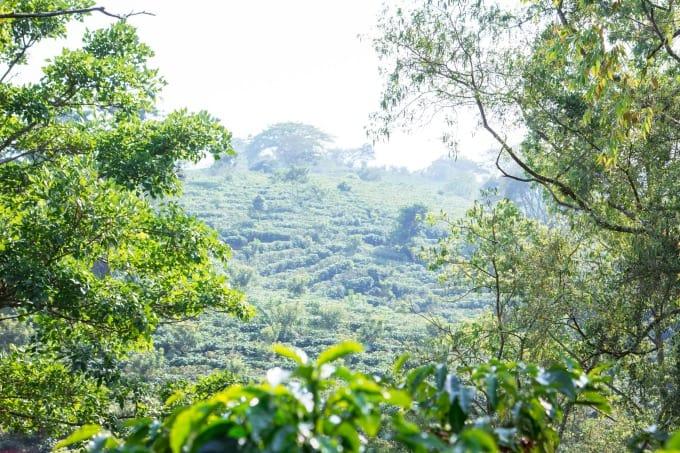 Espiritu Santo Coffee Fields