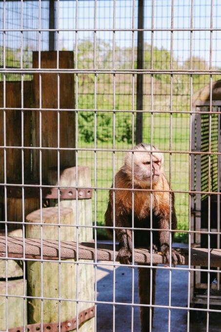 Monkey at Big Cat Habitat
