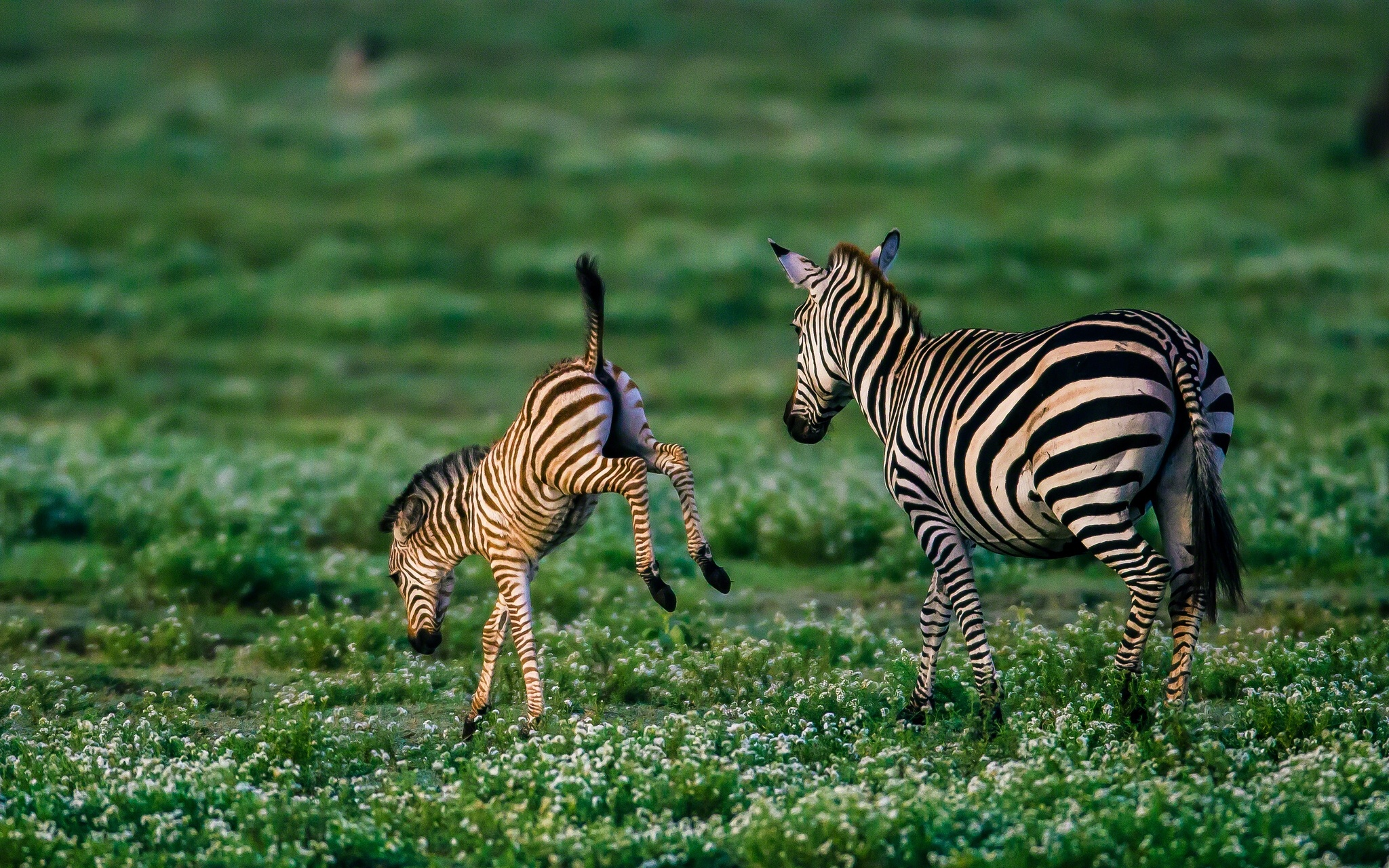 Small Cute Baby Kissing Wallpaper 20 Cute Baby Zebra Pictures Amp Photos Free Download Funnyexpo