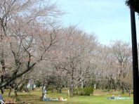 お花見広場の桜2