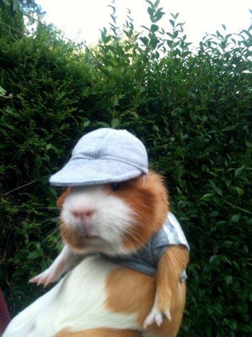 A Collection of Funny and Cute Guinea Pig Pictures