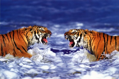 Swimming Wallpaper Quotes Best 35 Bengal Tiger Pictures And Wallpapers