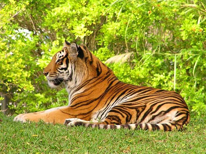 Tiger Royal Bengal Baby