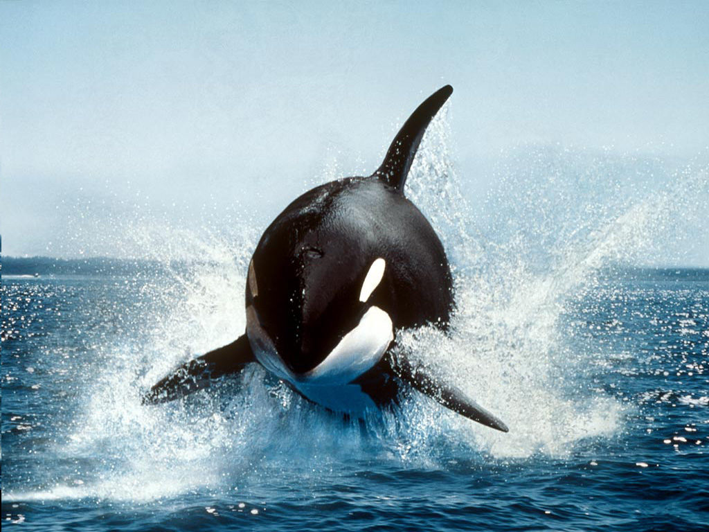 Killer Whale Hd Wallpaper 30 Beautiful Killer Whale Pictures And Hd Wallpapers