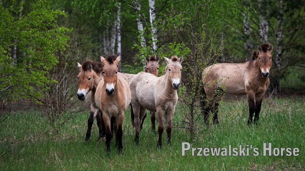 Rare Przewalski's Horse In Chernobyl Forest
