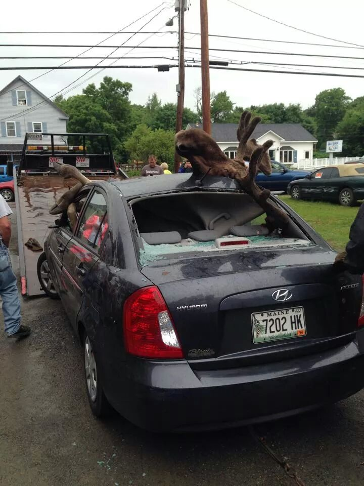 MOOSE ACCIDENT GREENVILLE MAINE JULY 4TH WEEKEND 2014