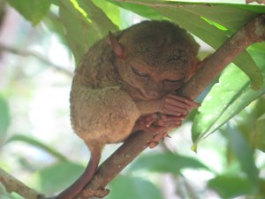 TARSIER - The smallest Monkey in the world