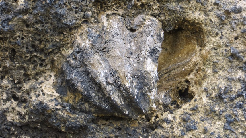 GIANT CLAM FOSSIL