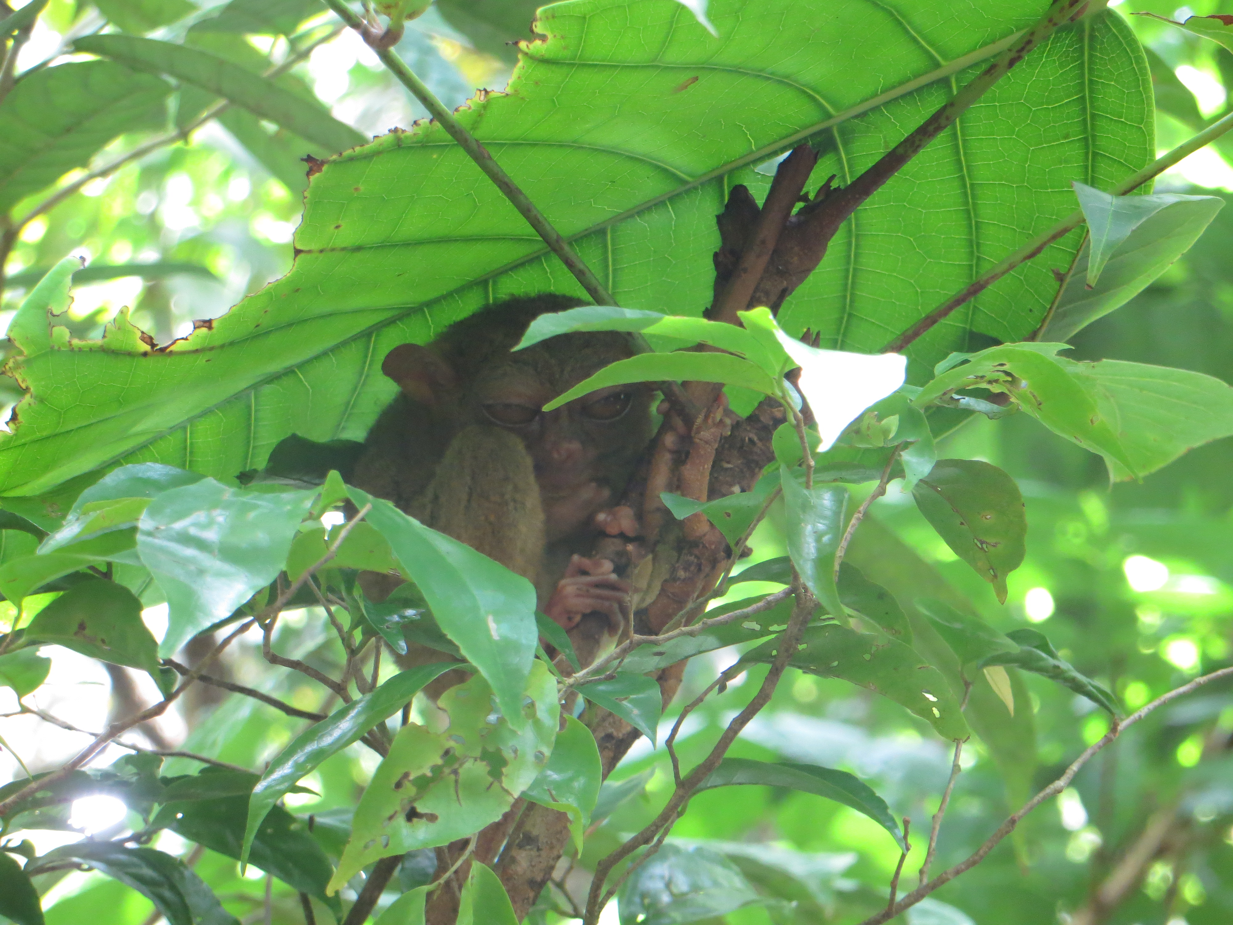 Tarsier- smallest monkeys in the world