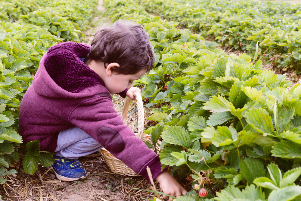 Frugal Summer Activities in Massachusetts - Berry Picking