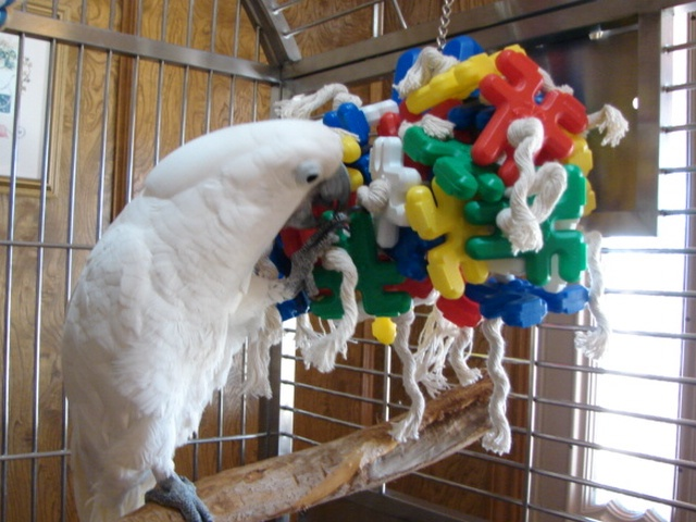 Cockatoo Playing with Bird Toy