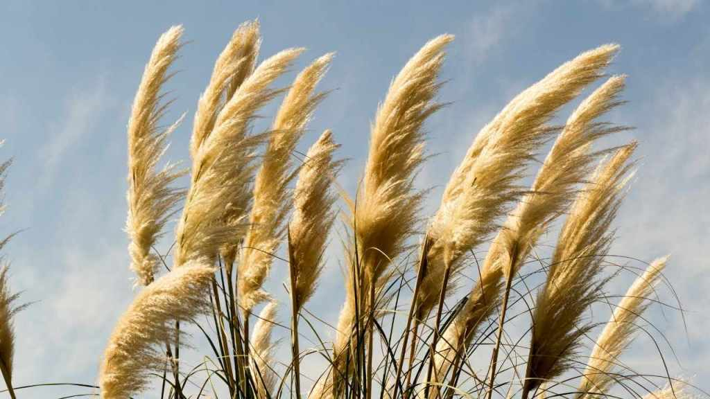 Are oat crops beneficial for farmers