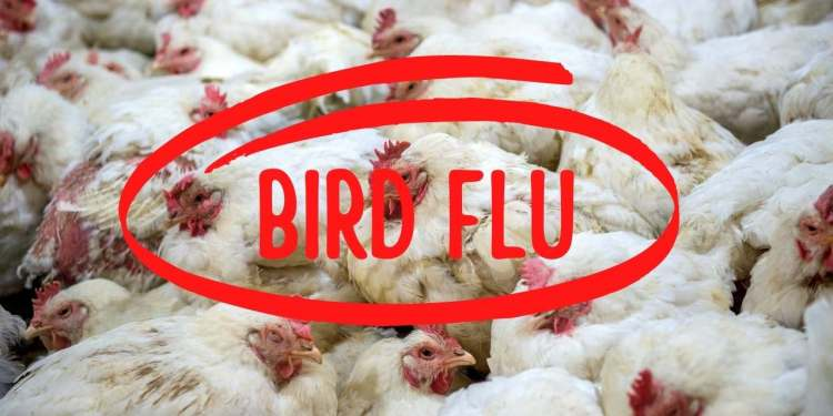 Bird Flu Outbreak India's New Concern After Coronavirus Pandemic