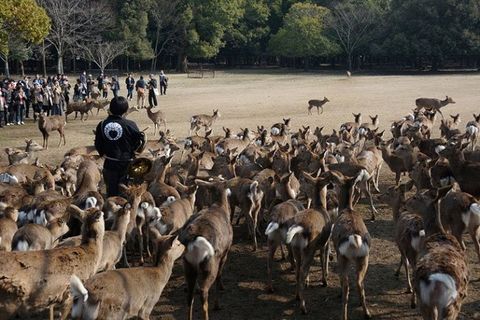 visuel nara cerf 1 - Les ravages du tourisme à outrance : 7 cerfs à Nara retrouvés morts avec plus de 4 kg de plastique dans le ventre