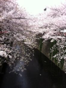 $ふれあいスタッフの日記-中目黒の桜