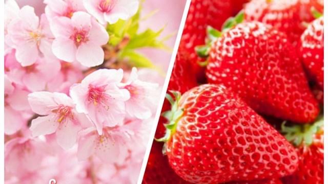 春休み,いちご狩り,花見,桜,開花予想,食べ放題,予約なし