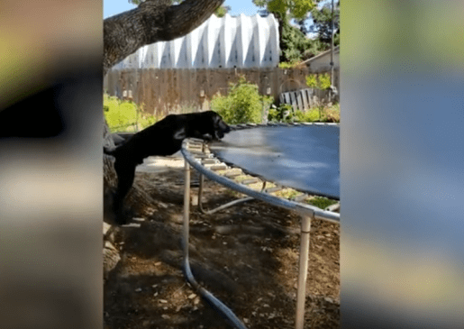 Dog Plays Fetch with Trampoline