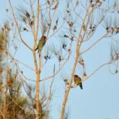 Dollarbirds