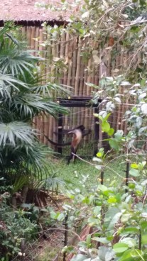 A spider monkey doing a silly pose
