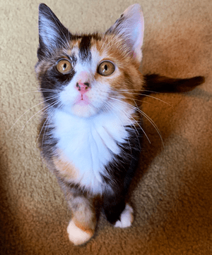 Calico Kittens For Sale Near Me : calico, kittens, Atlanta's, Largest, Animal, Shelter, Rescue, Adoption, Furkids, Georgia's, No-Kill
