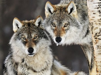 cutetimbwolf