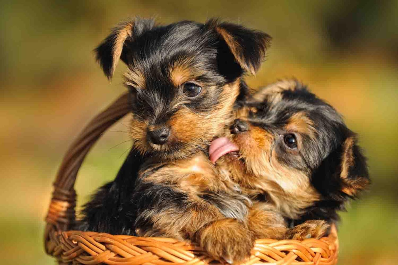 Cute Yorkshire Terrier Puppies Wallpaper Furry Babies Has The Cutest Yorkie Puppies For Sale