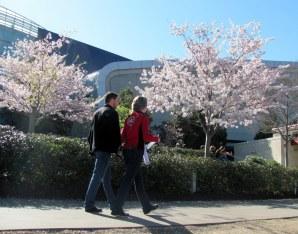 Caminando entre árboles rosados.