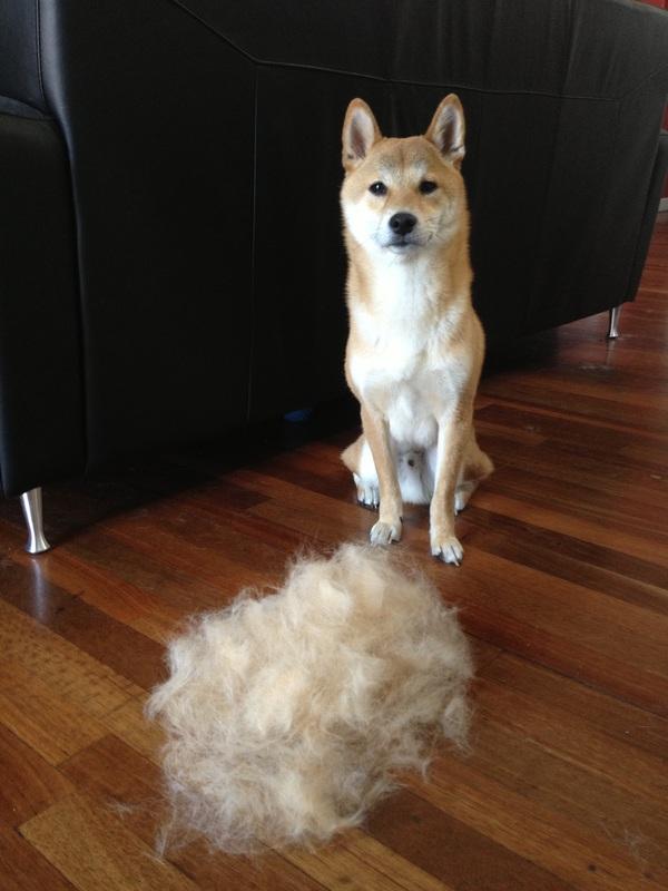 Do Shiba Inus Shed A Lot : shiba, Spring, Sprung!, (tips, Shiba, Blows, Coat), Furtography