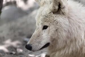 遠くを見る白いオオカミ