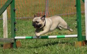 ハードルを飛び越えるパグ犬