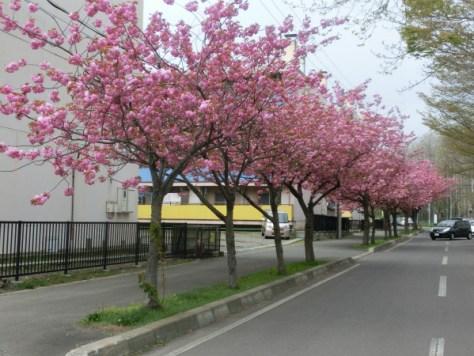 的場中学校前の八重桜(2015年5月9日撮影)