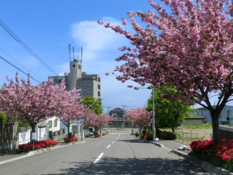 函館公園前の八重桜(2015年5月14日撮影)