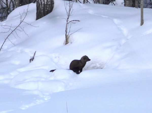 Fisher prefer thin snow cover in boreal forest ridges.