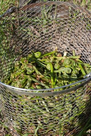 Freshly picked fiddlehead ferns, at Doaktown, New Brunswick