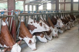 Montbéliarde cows. Most milk for Comte cheese comes from this breed.
