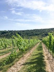 East Sussex Vines