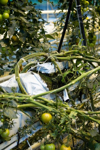 icelandic-tomatoes-31