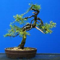 Cedar Bonsai (Cedrus Deodara)