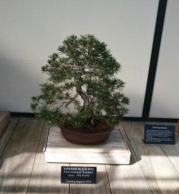 Japanese Black Pine 2