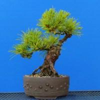 Chuhin White Pine