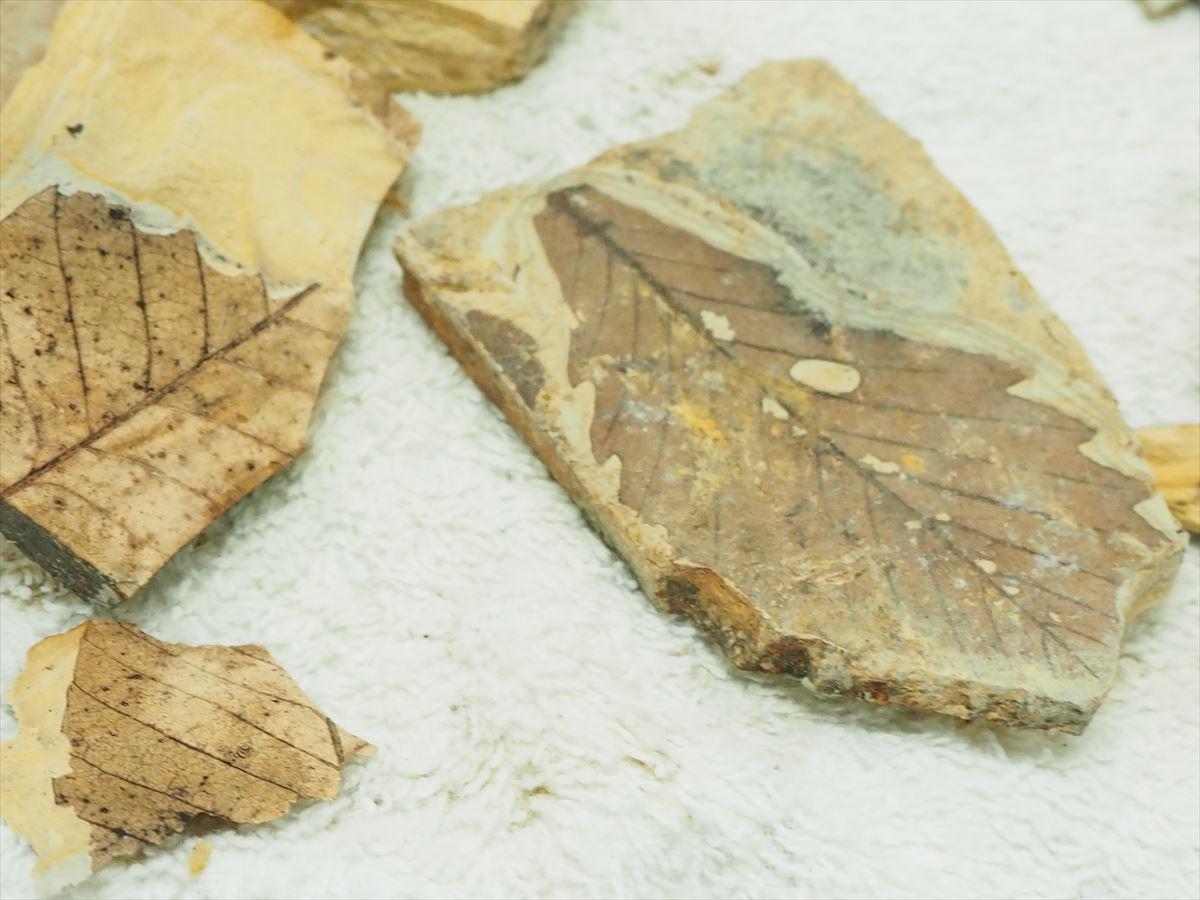 化石 掘り 体験 葉