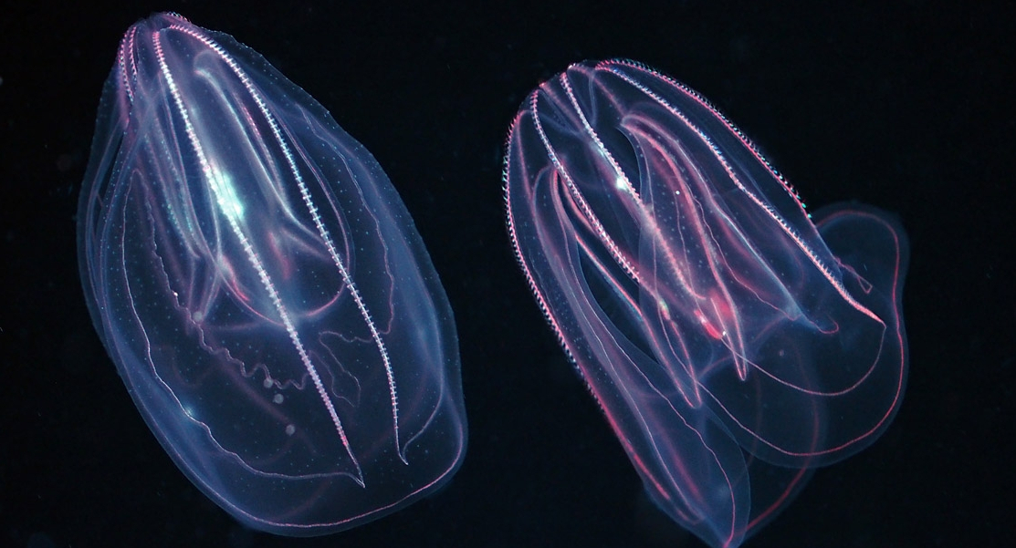 Untangling comb jelly culture Conservation Science