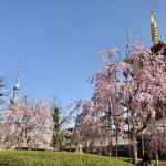 【お花見】浅草寺より、五重塔とスカイツリーと桜♪