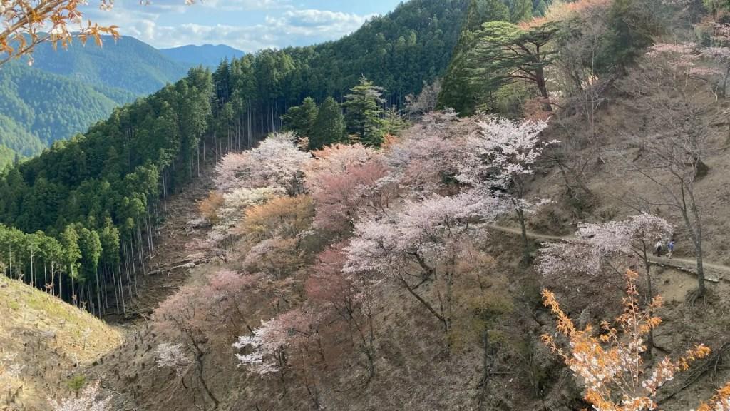 奥千本は、今までみてきた中では最も好きな桜の景色