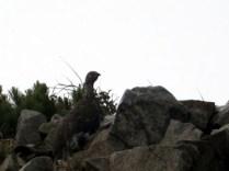 小蓮華岳の手前で雷鳥に遭遇